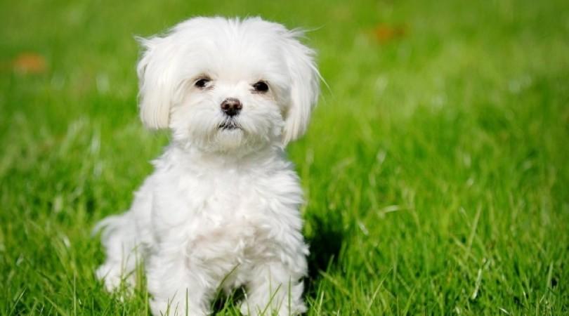 15 гипоаллергенных собак для квартиры и дома: мелкие, средние и крупные породы
