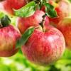 Аллергия на яблоки: может ли быть, как проявляется, симптомы, фото