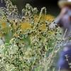 Аллергия на полынь: фото, перекрестная реакция, как проявляется, что делать, лечение