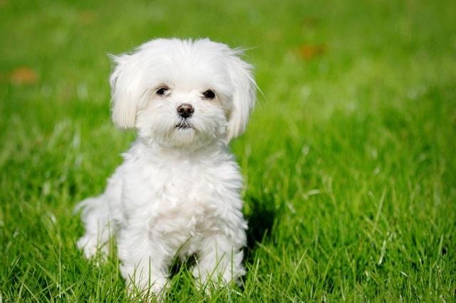 Гипоаллергенные собаки (41 фото): список маленьких и больших пород не аллергенных собак для квартиры. Как выбрать щенка для детей?
