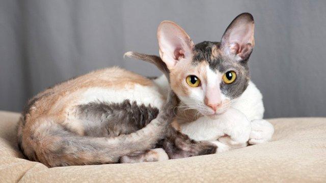 Безаллергенные кошки породы
