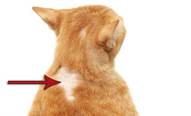 аллергия у кота на спине