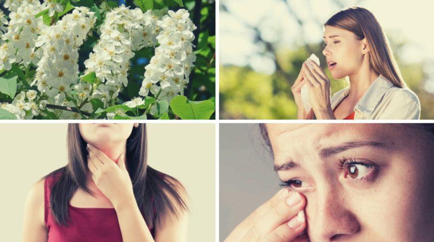 Симптомы аллергии на черемуху